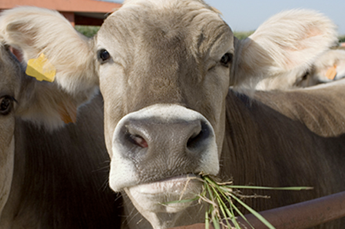 Image of a cow chewing grass